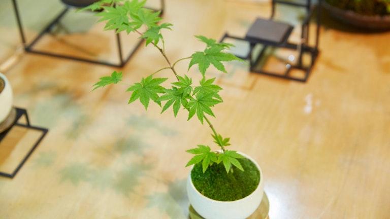 この日、彼女が買って帰ることにした盆栽。このサイズのものであれば3000円ほどから購入できる
