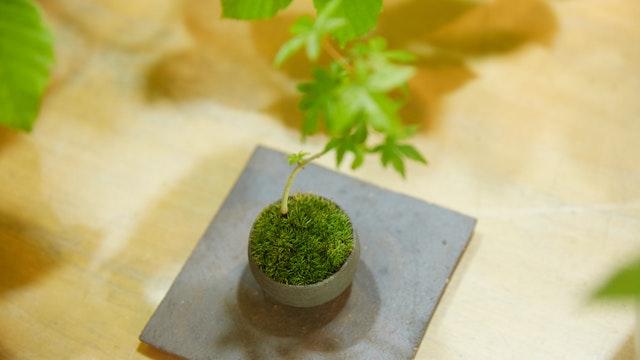 小ぶりなサイズの盆栽ならお部屋に飾りやすく育てやすい