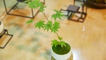 和室にも洋室にも合う、モダンな印象の盆栽が揃う。育て方などは親切に教えてもらえるので安心